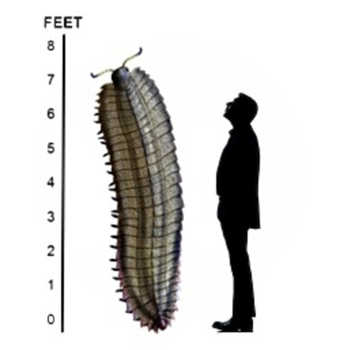 Size comparison between an average adult Arthropleura and a 6.5 ft tall human