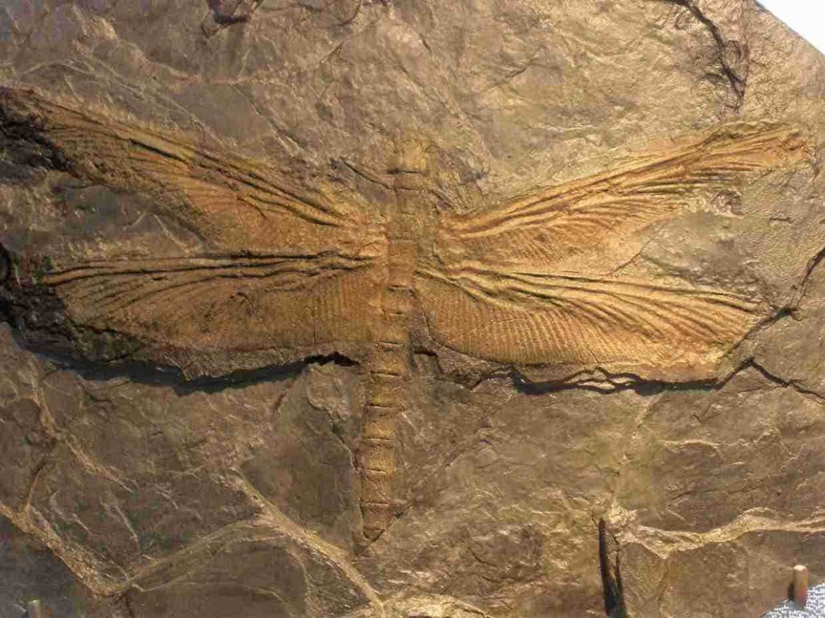 Fossil specimen of Meganeura monyi