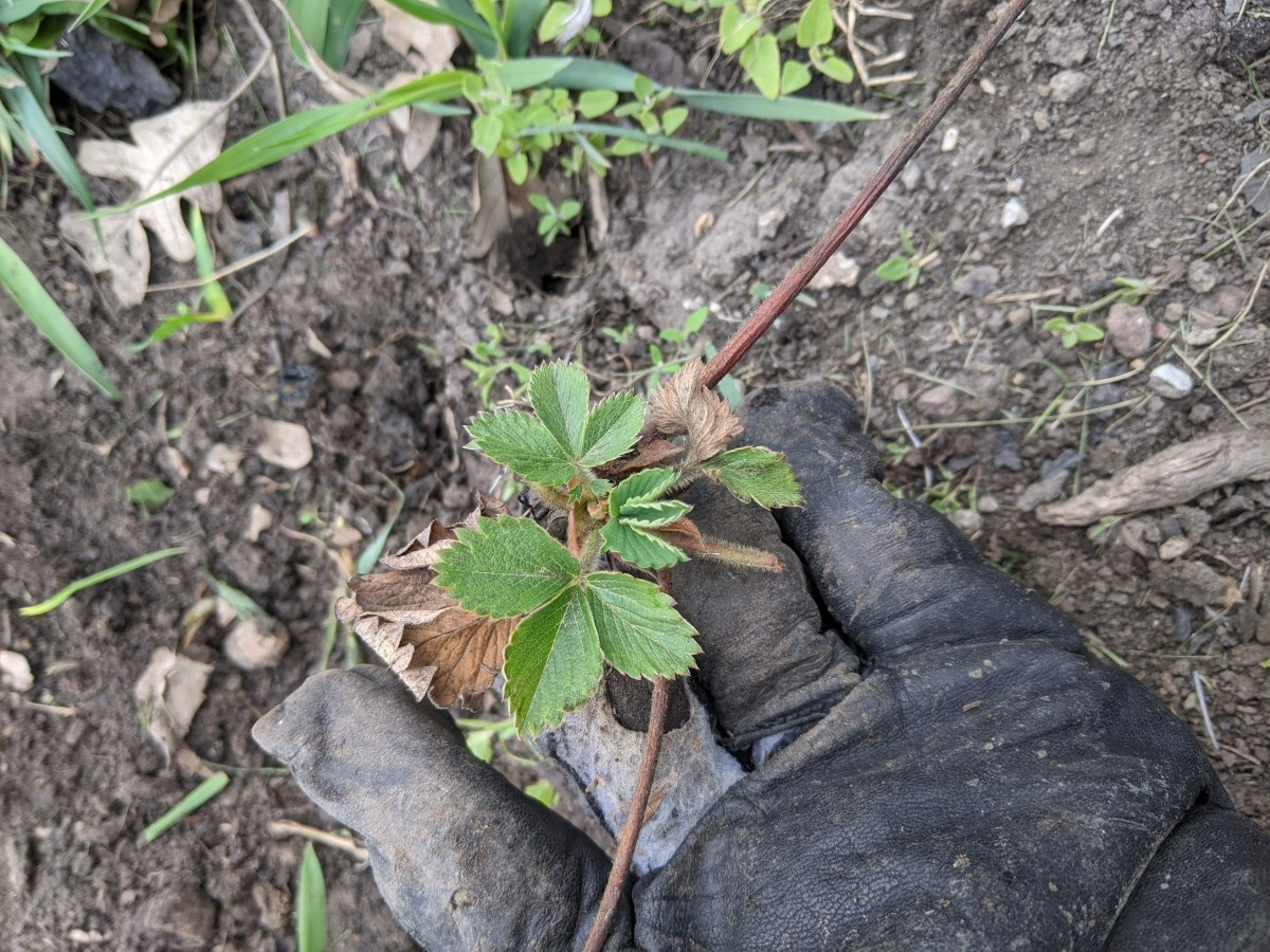 strawberry-bed-weeding