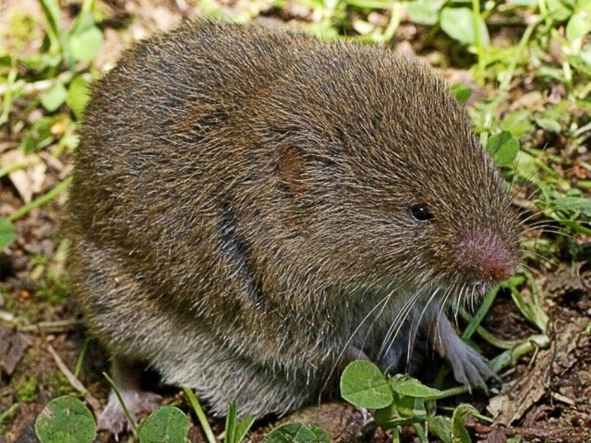 Microtus lusitanicus is a close relative of the creeping vole.