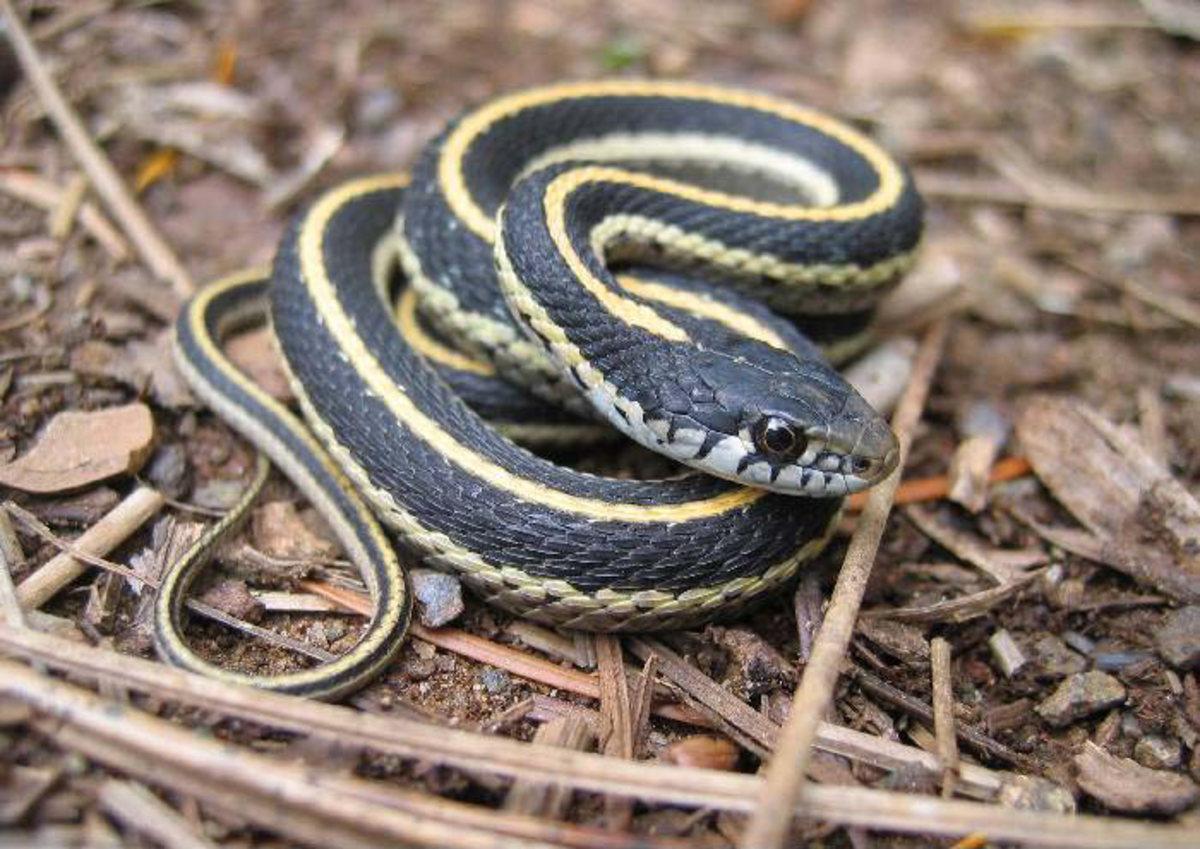 Western terrestrial garter snake.