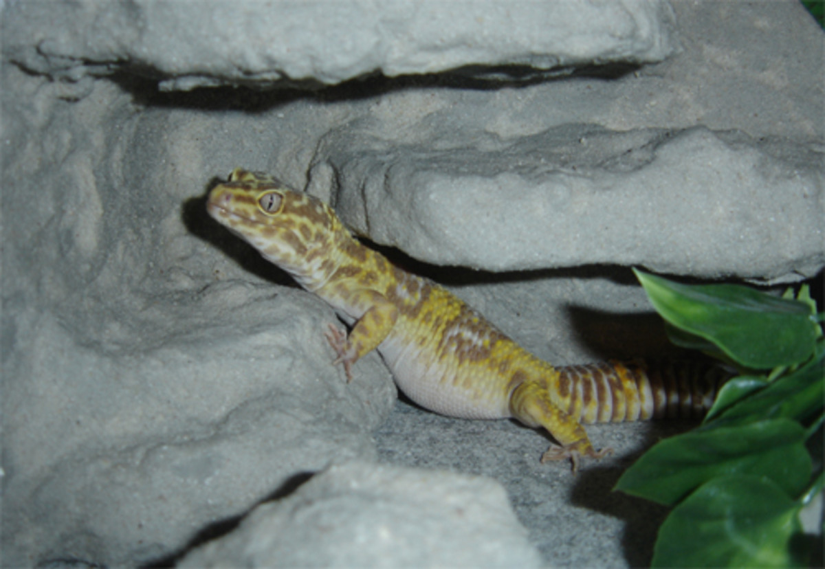 Leopard Geckos Care Sheet