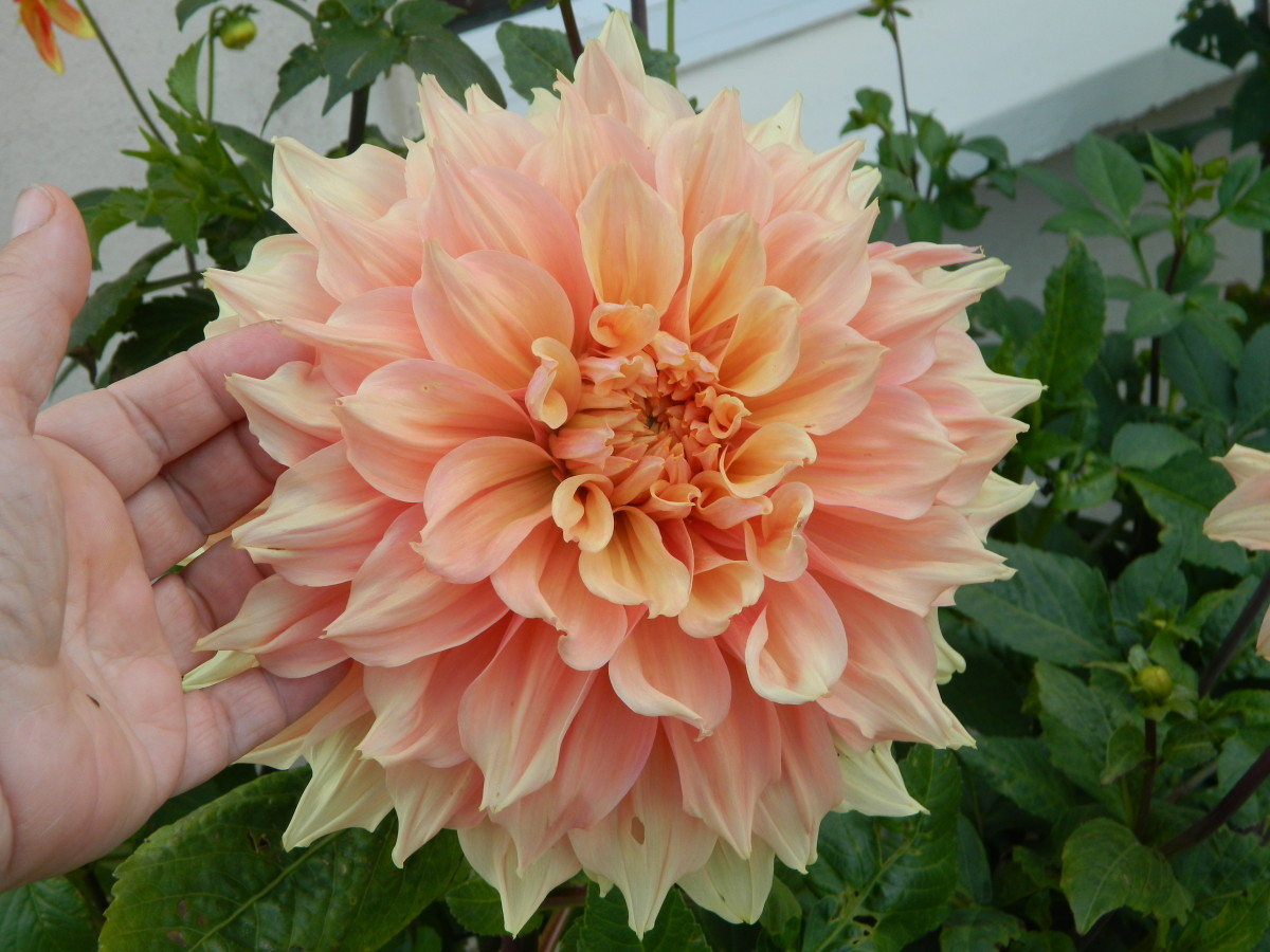 Before planting out your dahlias, it's important to acclimatize them to outdoor temperatures.