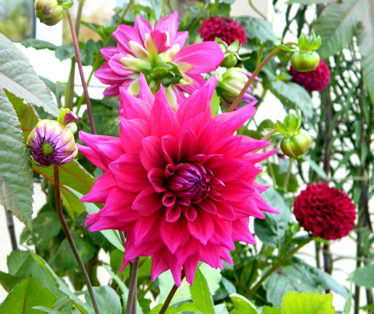 To avoid breakages further down the line, I recommend staking your dahlias as soon as you get them in the ground.