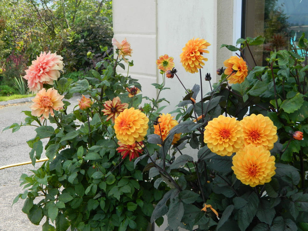 When planting out your dahlias, be sure to choose a location with full sun and fertile soil.