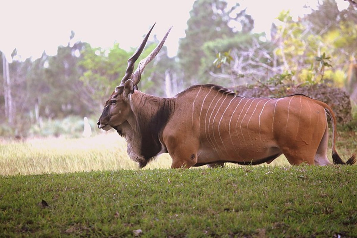 top-6-amazing-facts-about-the-massive-eland-antelope