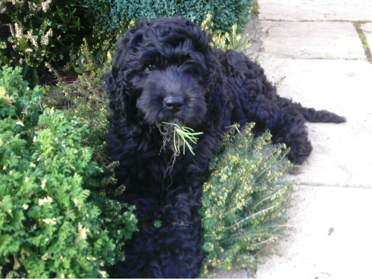 Tilly helping with the garden weeding!