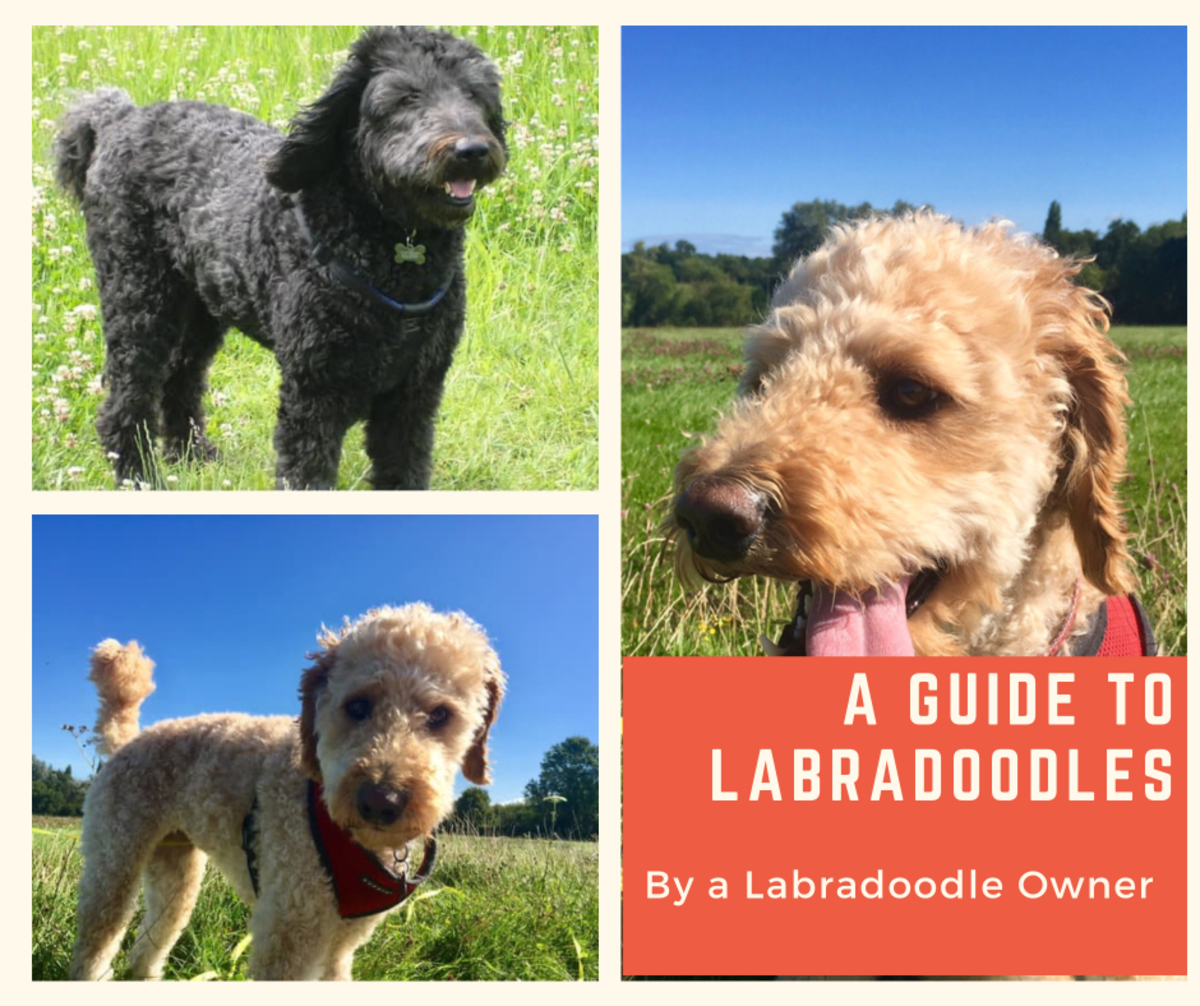 a-guide-to-labradoodles-by-a-labradoodle-owner