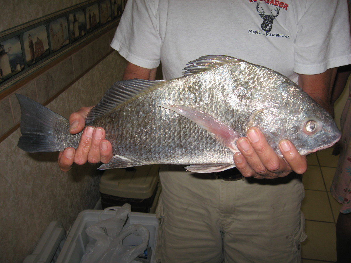 Small black drum, or puppy drum, are great on the table.
