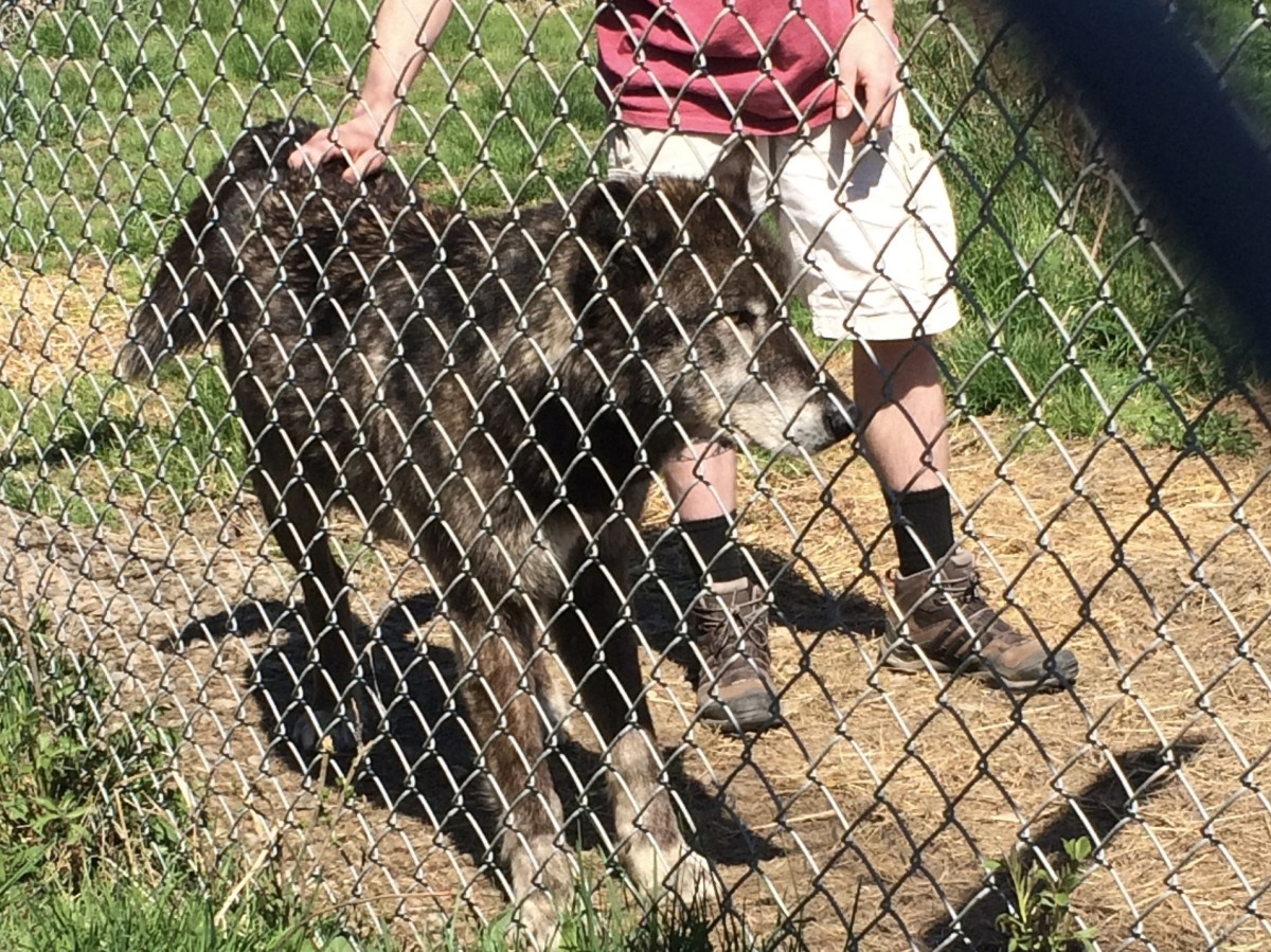 Bear from Ipswich, MA Wolf Hollow