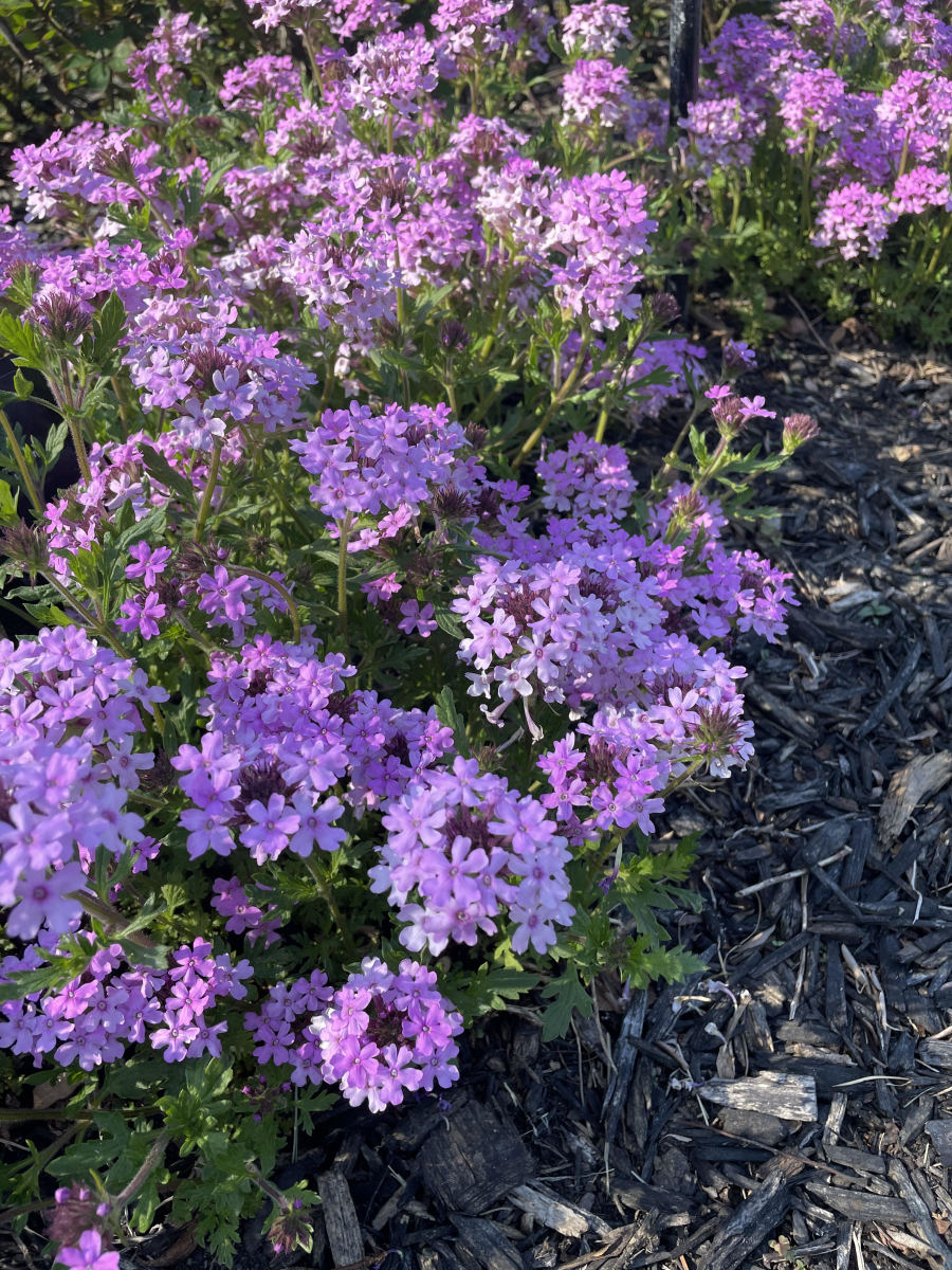 verbena-types-care-and-propagation