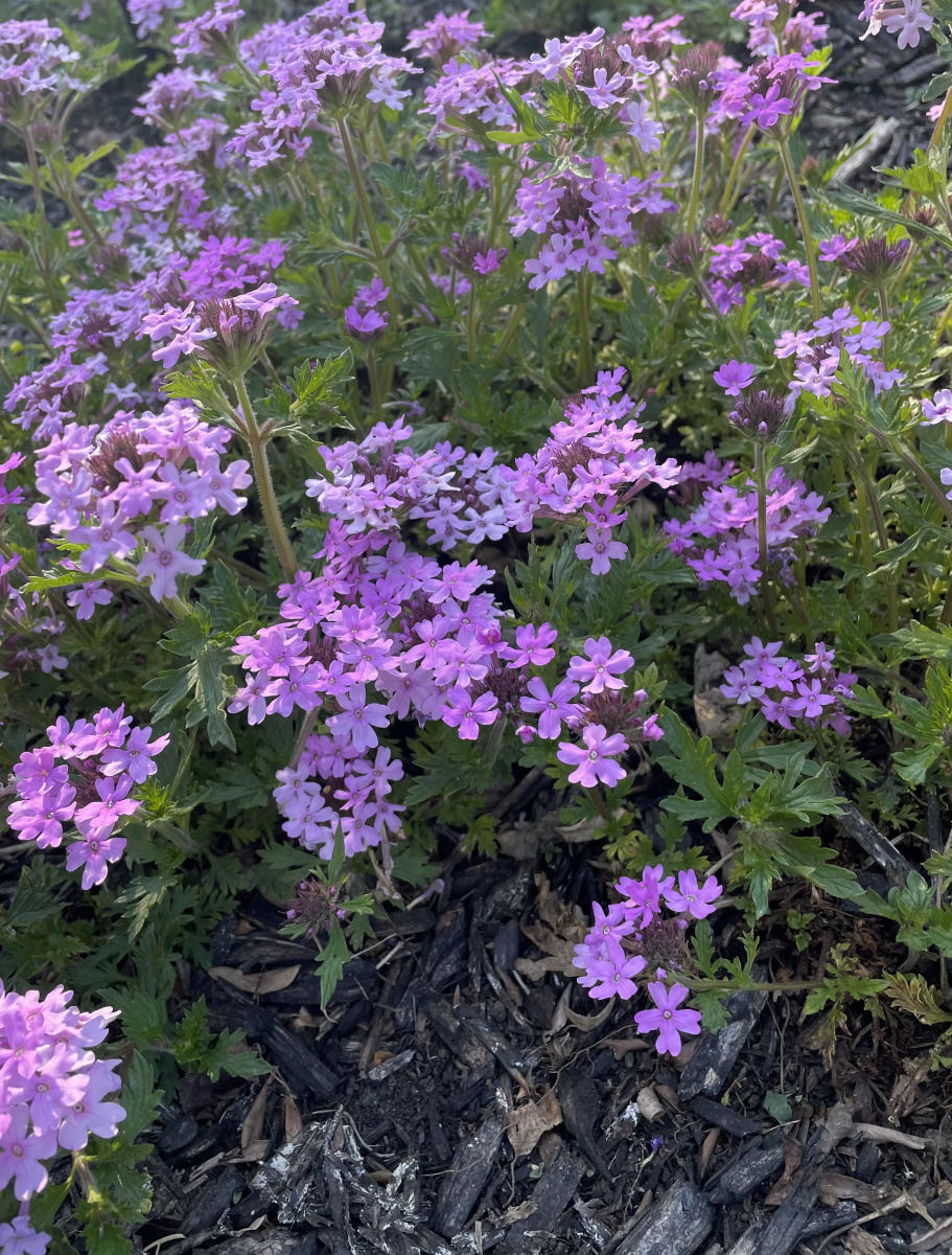 This article will provide information about the different types of verbena, as well as how to care for and propagate the plant.