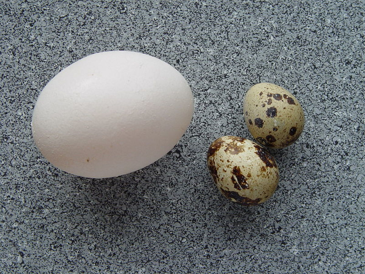 A standard chicken egg in comparison with quail eggs.