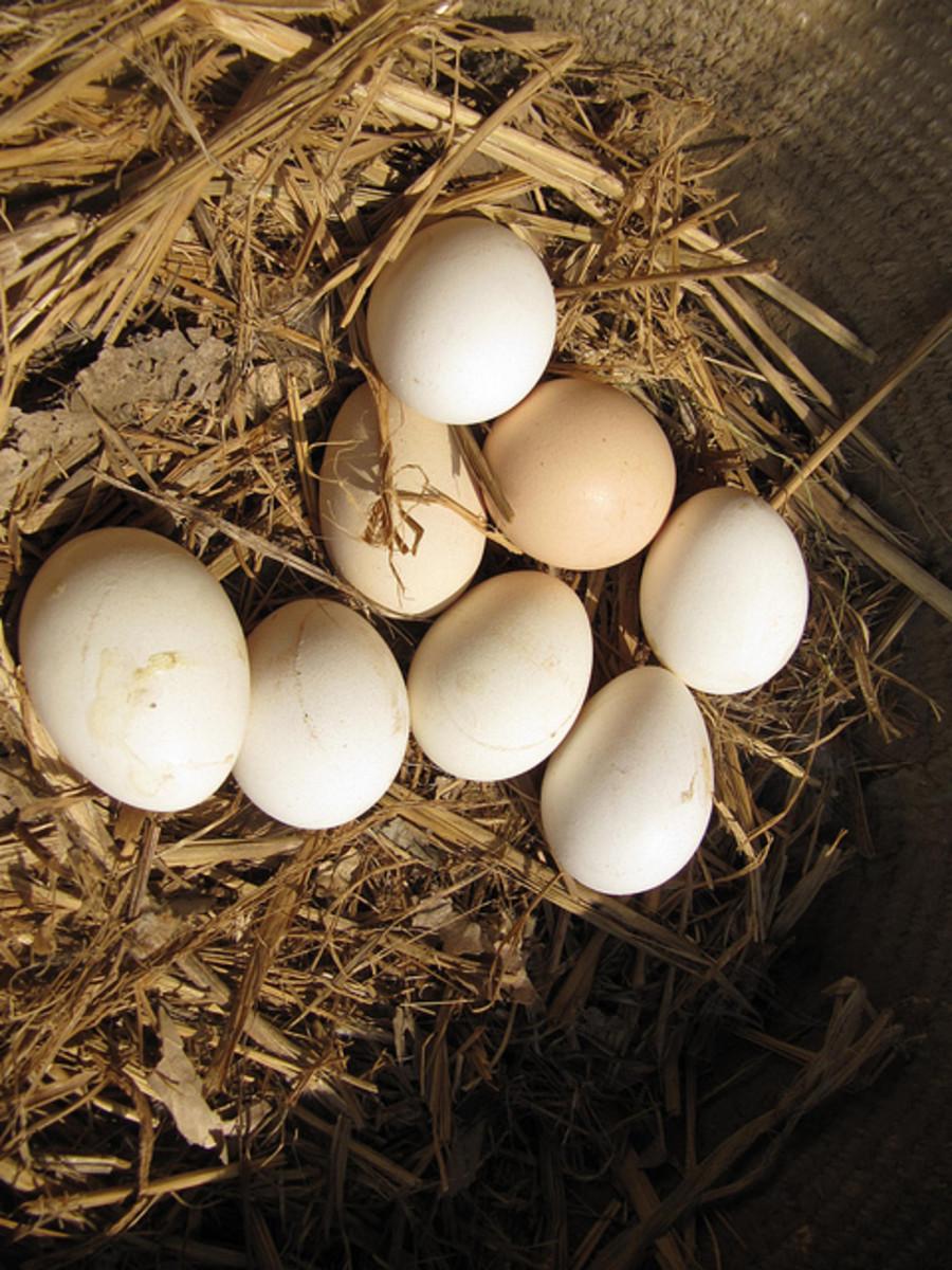 Organic eggs in a farm