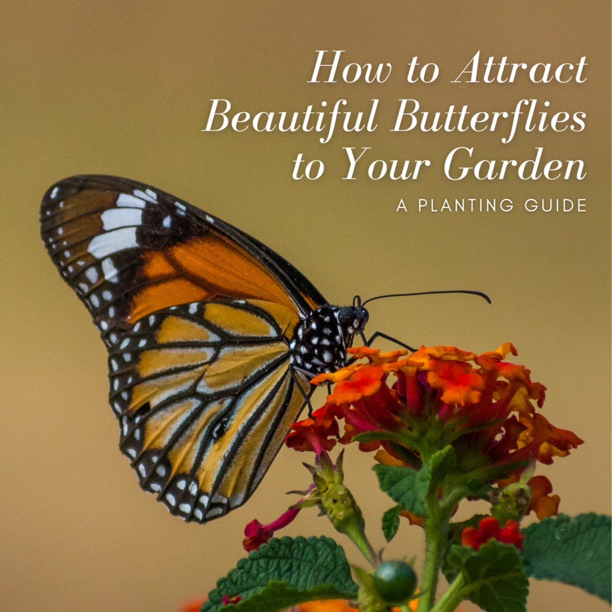 This article will help you attract gorgeous butterflies to your garden by planting the kinds of flowers they love to visit.