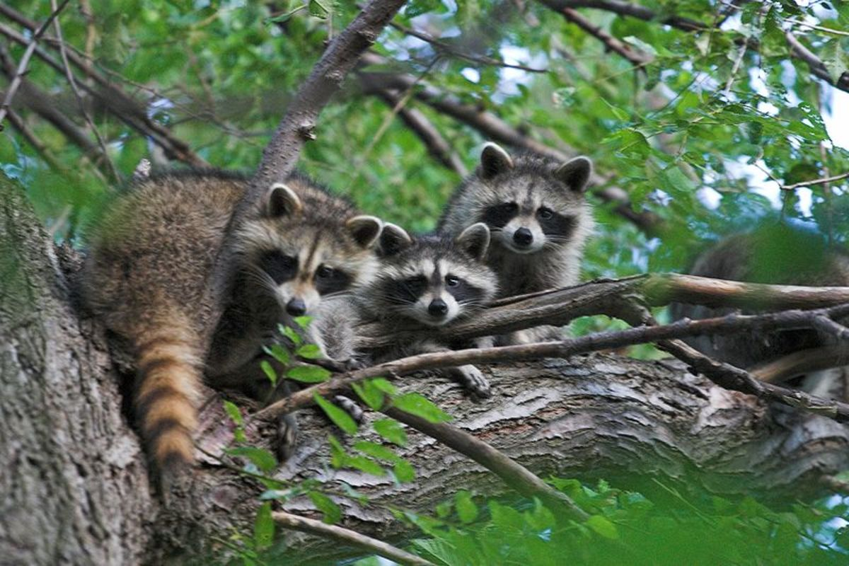 Female raccoons form fission-fusion societies.