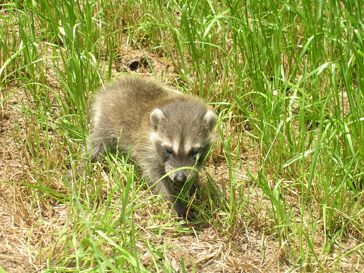 Baby raccoons (kits) are curious, adventurous explorers.