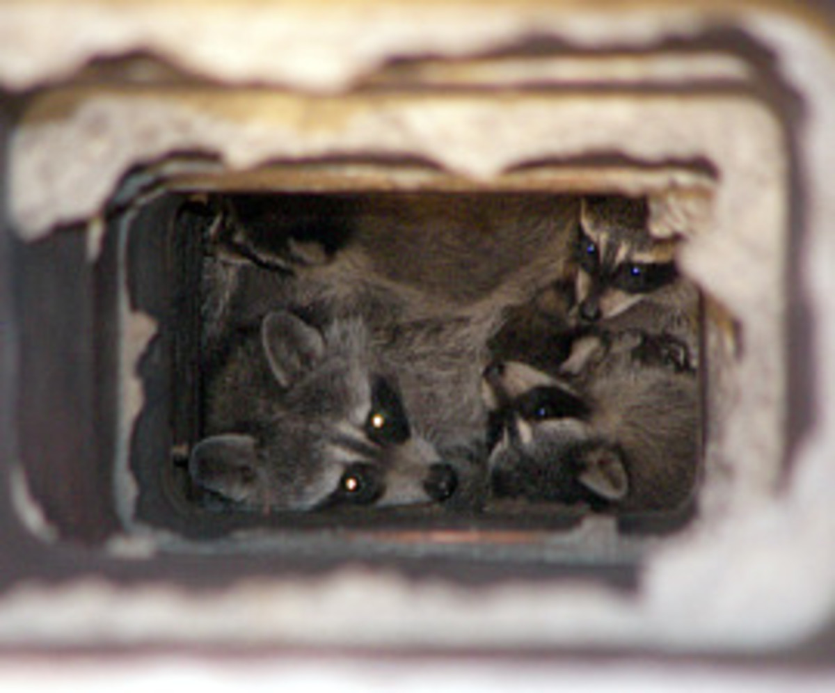 Make sure all of the raccoons are out of the chimney before cleaning and capping it!
