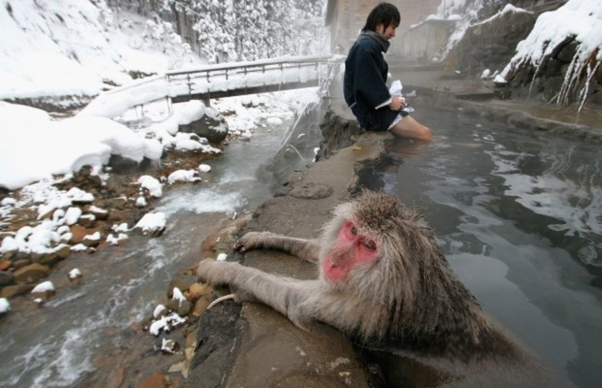 Macaque, AKA 'snow monkeys' relaxing in a hot spring.
