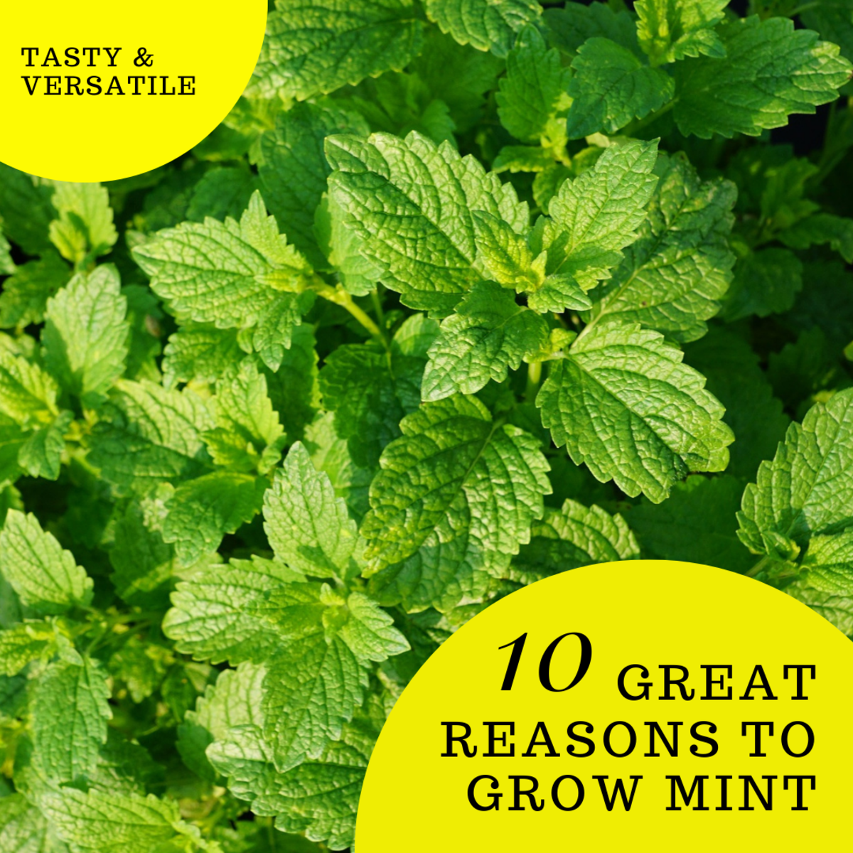 This article will provide 10 excellent reasons to grow the delicious and versatile mint plant.