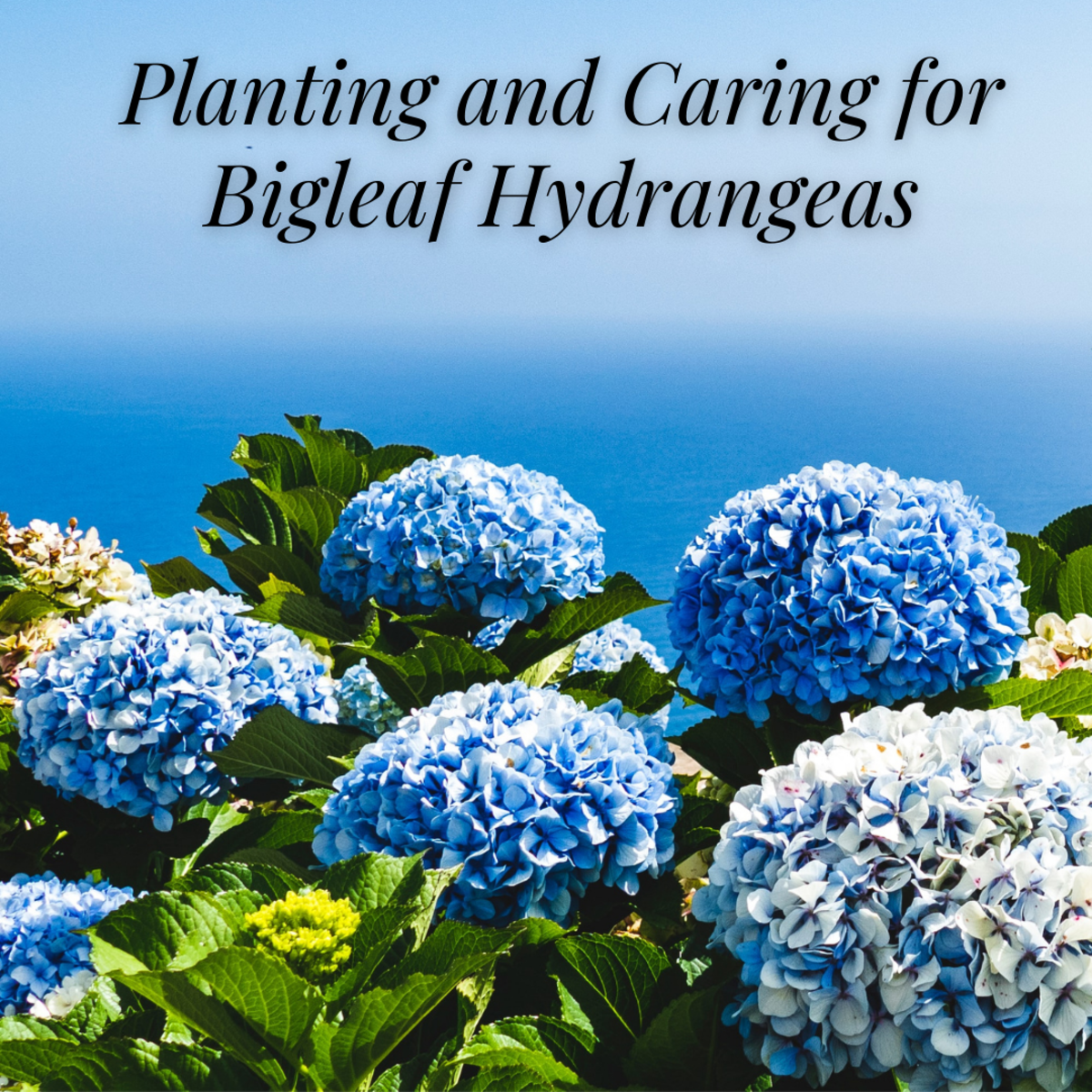 This guide will provide you with all the planting and caring information you need to grow gorgeous bigleaf hydrangeas.