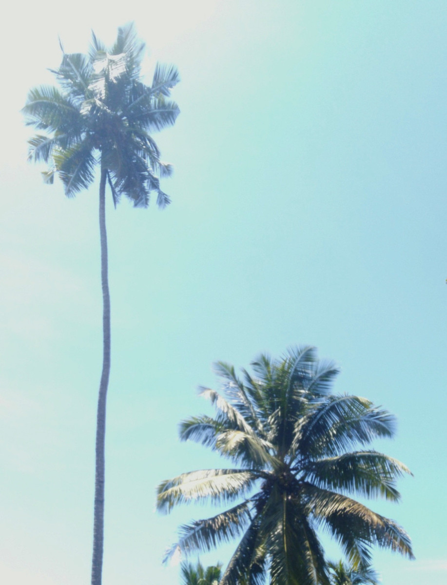 Tall and dwarf coconut palms
