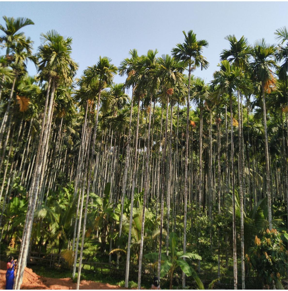 An arecanut plantation of South India