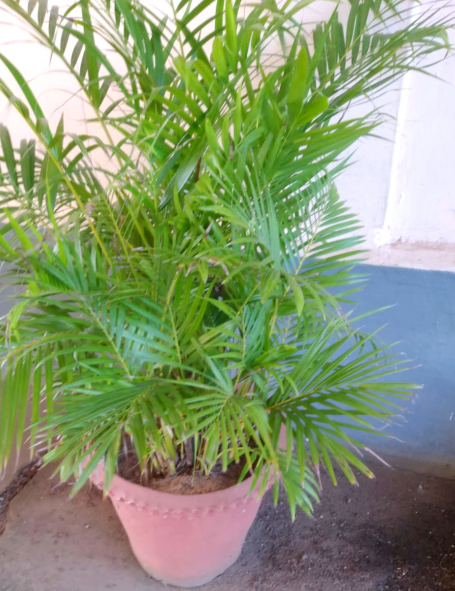 Areca lutescens container palm