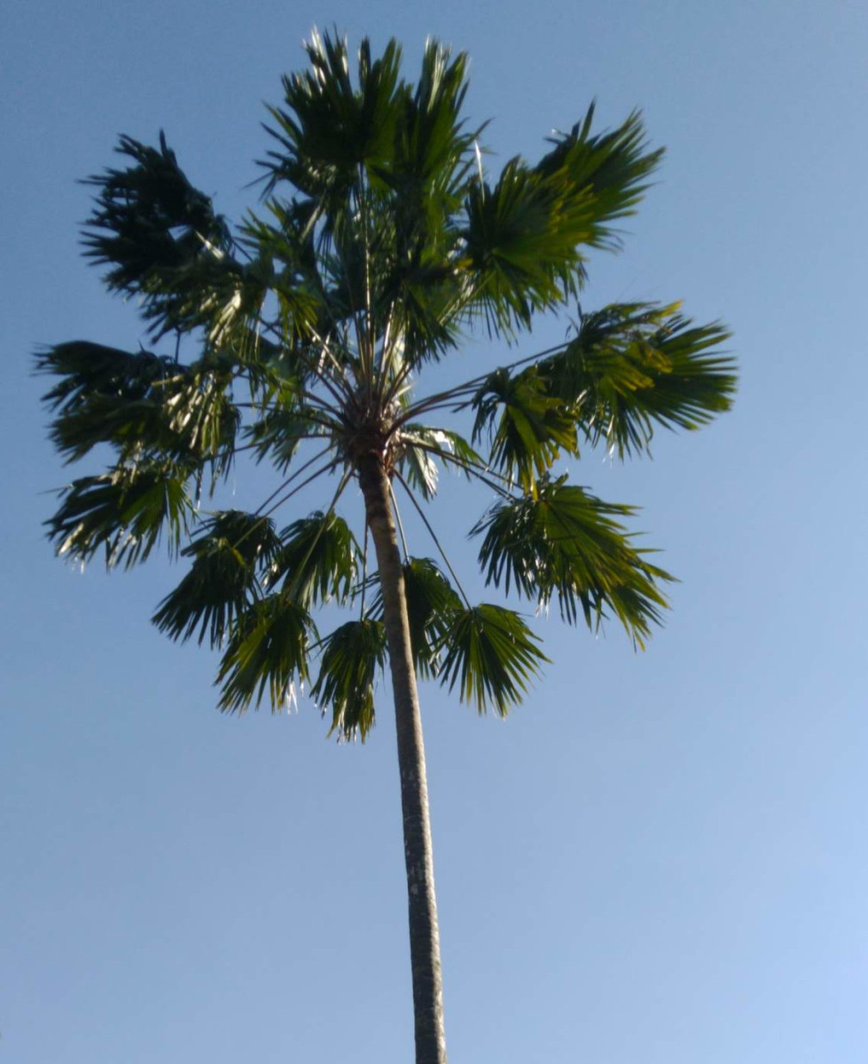 The fountain palm
