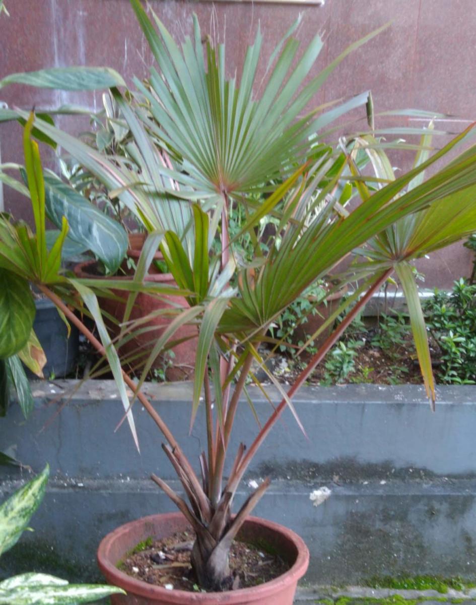 The China palm