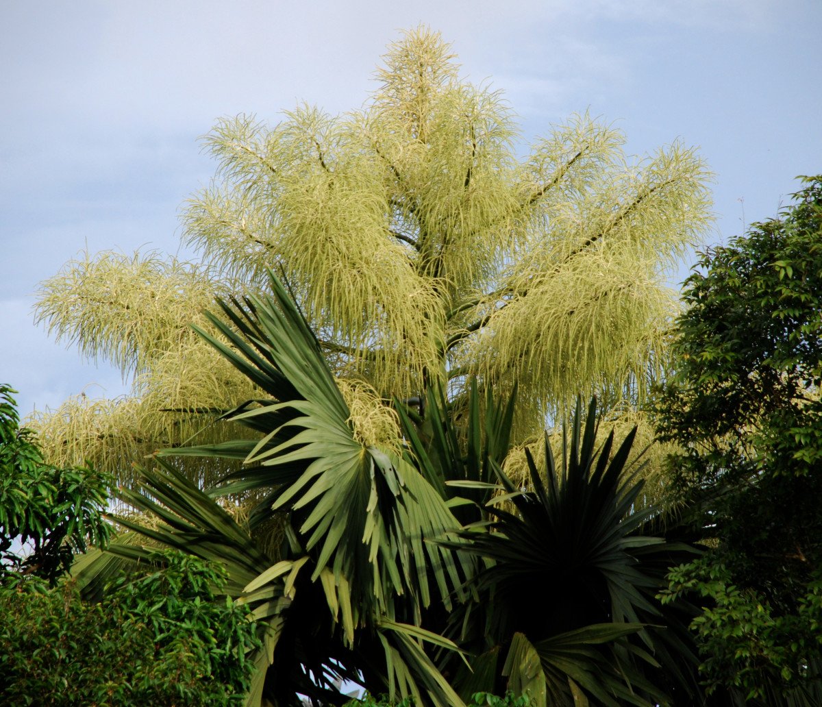 Rare flowering in a talipot palm - Corypha umbraculifera