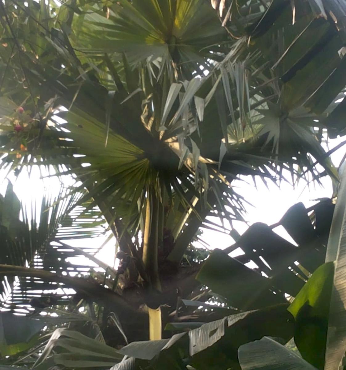 Borassus palm crown view
