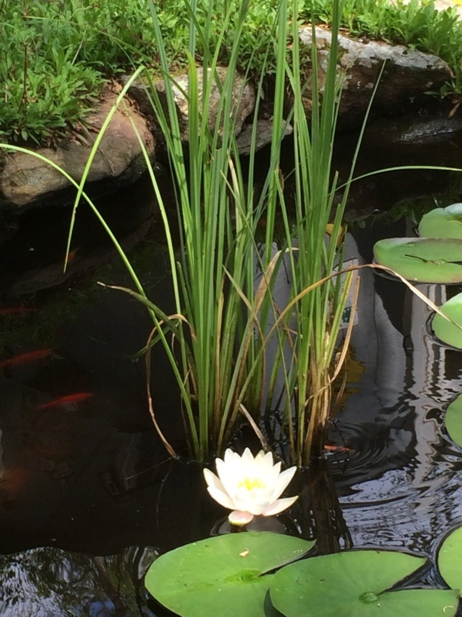 Plants help to keep the water clean, give fish shade and places to hide, and they look good too.