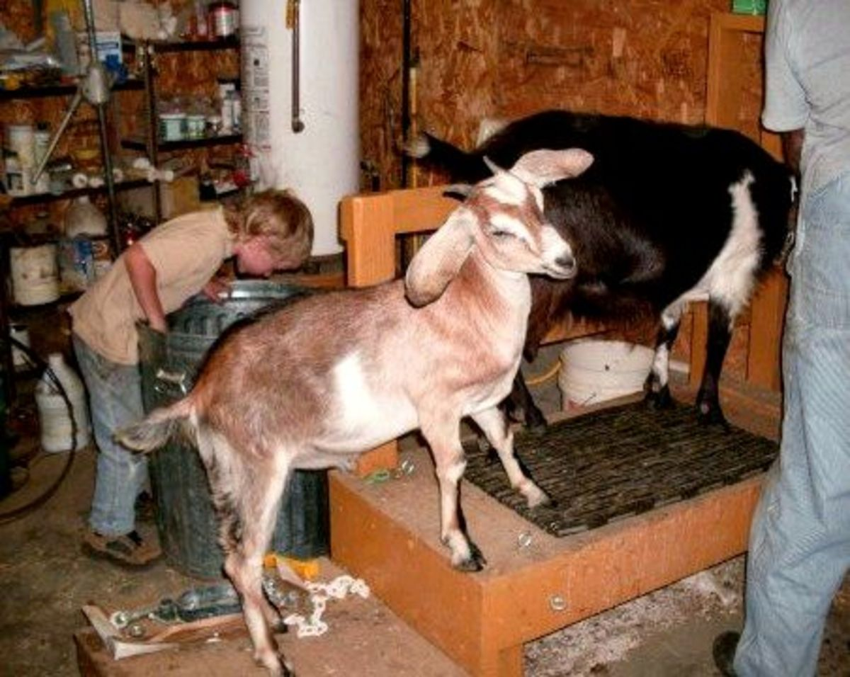 """Just because the milking is done doesn't mean chores are over. This is """"Sunny"""", Billy's young doe."""