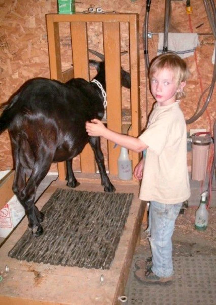 """My son """"Billy"""" also likes to spend time with the goats."""
