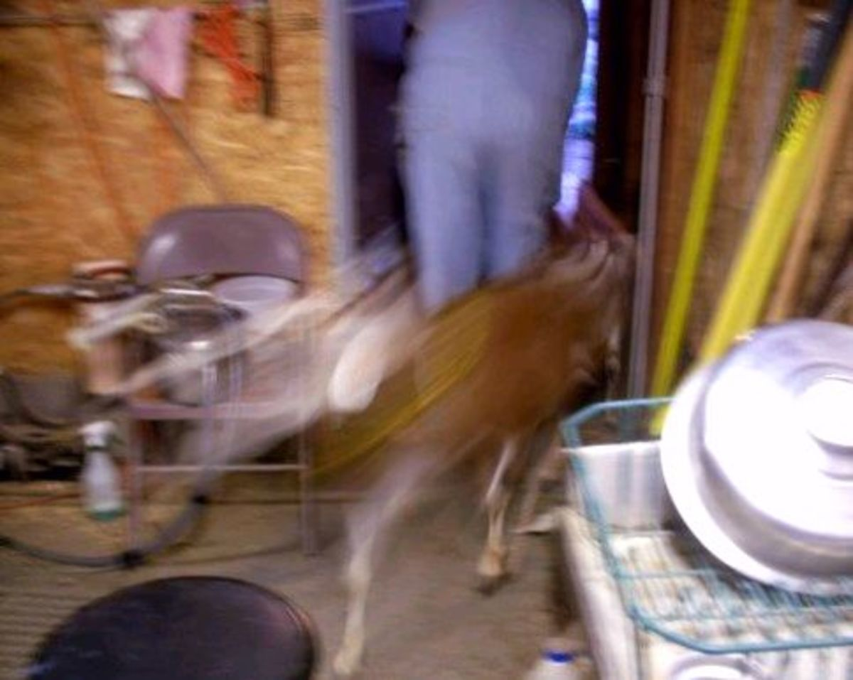 Time to go out. The exchange can happen very quickly, as there are almost always at least two goats trying to get into the room.