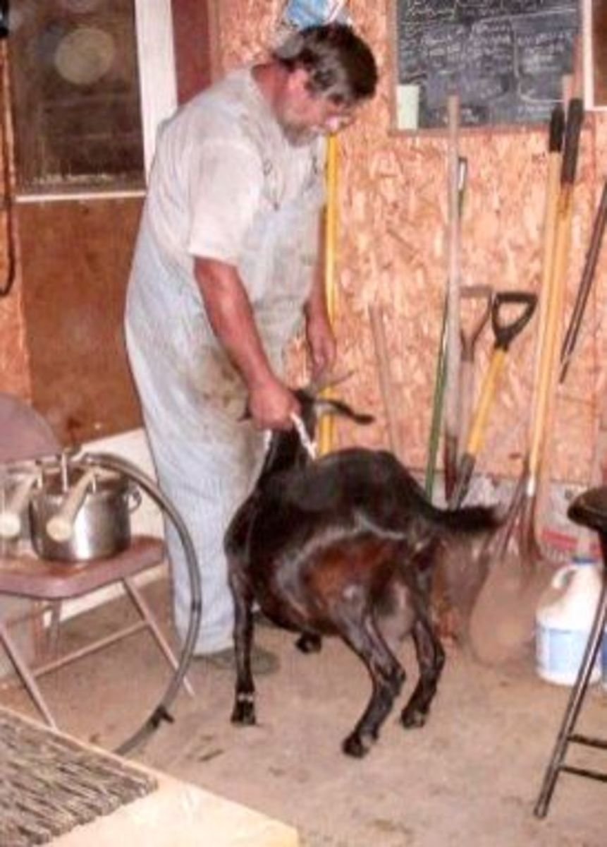 """Other times, certain goats decide they are not done, and must be """"helped"""" from the room."""