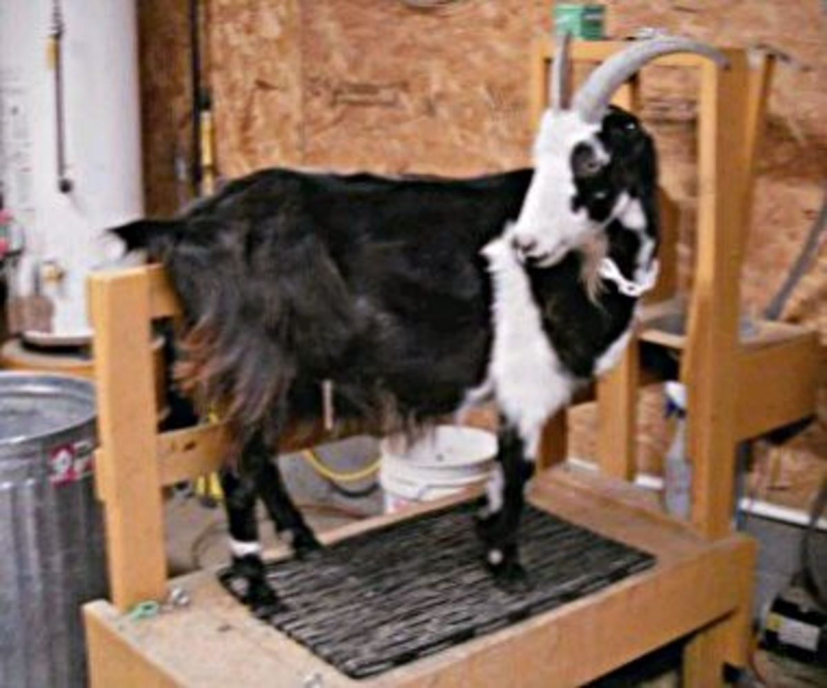 """""""Where's my grain? I want my grain."""" Each goat is given a few cups of a corn-oat mix to munch while the are being milked."""