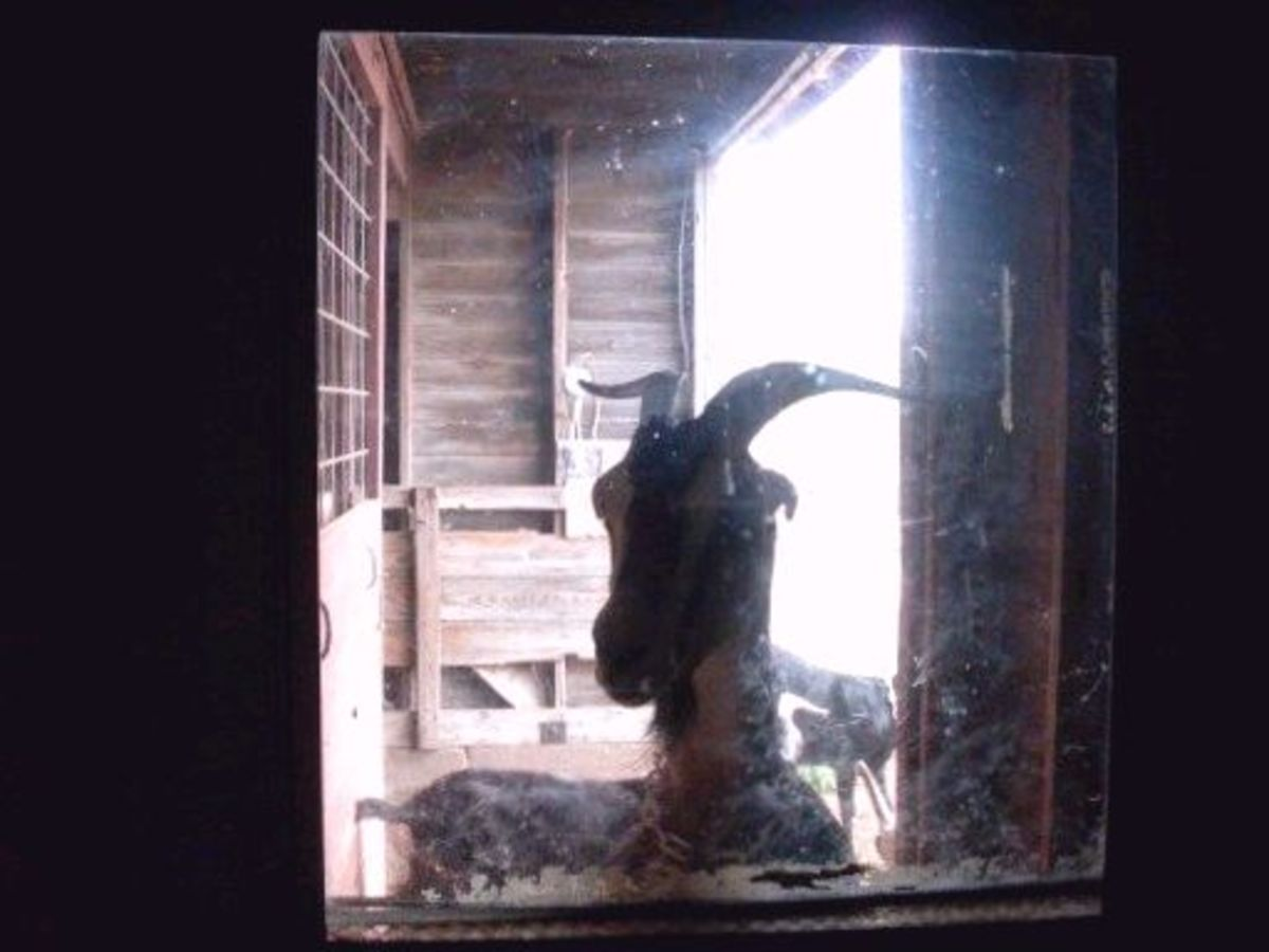 """""""Friend"""" jumps up against the door to take a peek at the pre-milking activity."""