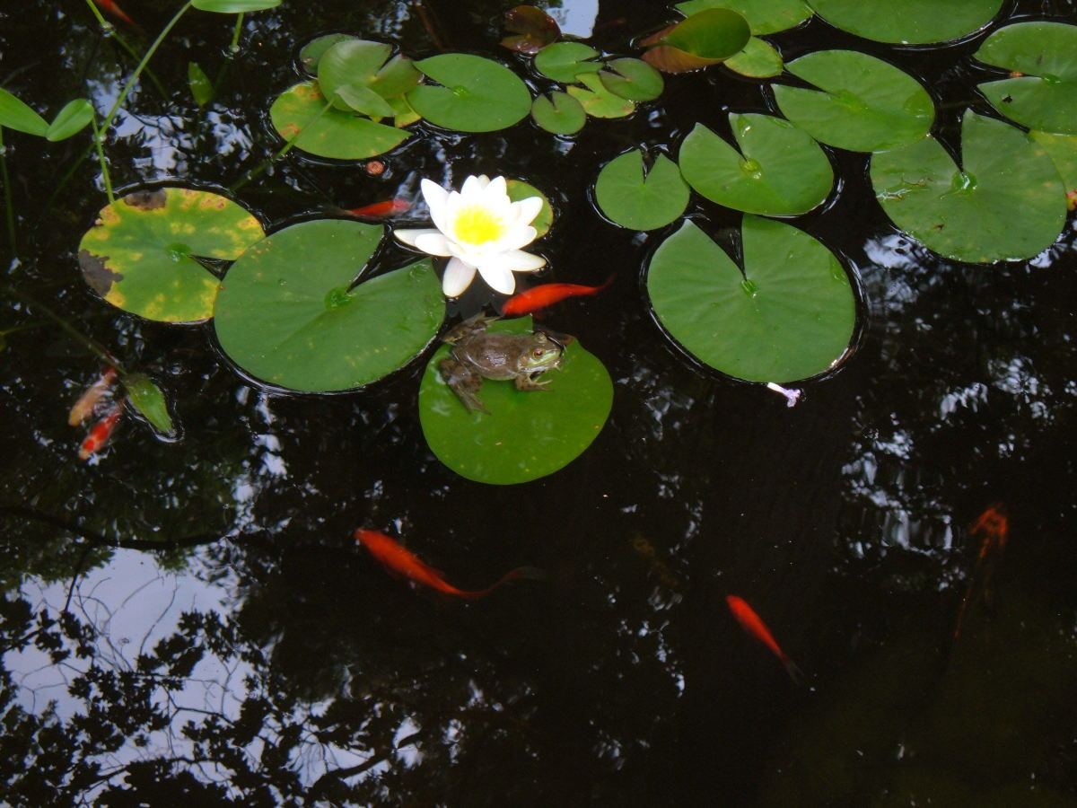 Our small backyard pond is home to goldfish, koi and frogs