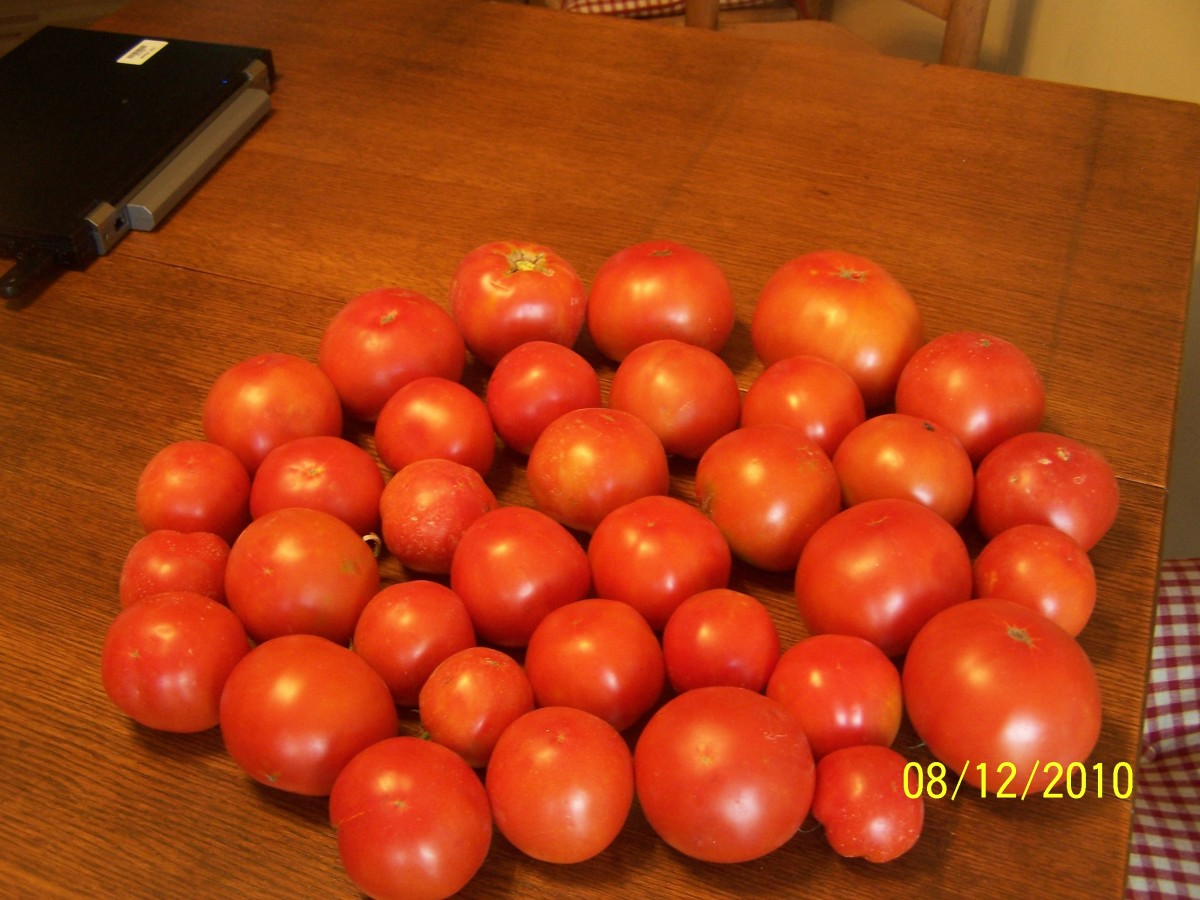 These tomoatoes came from well pruned vines, which allowed the fruite to devop into evenly formed and flawless tomatoes.