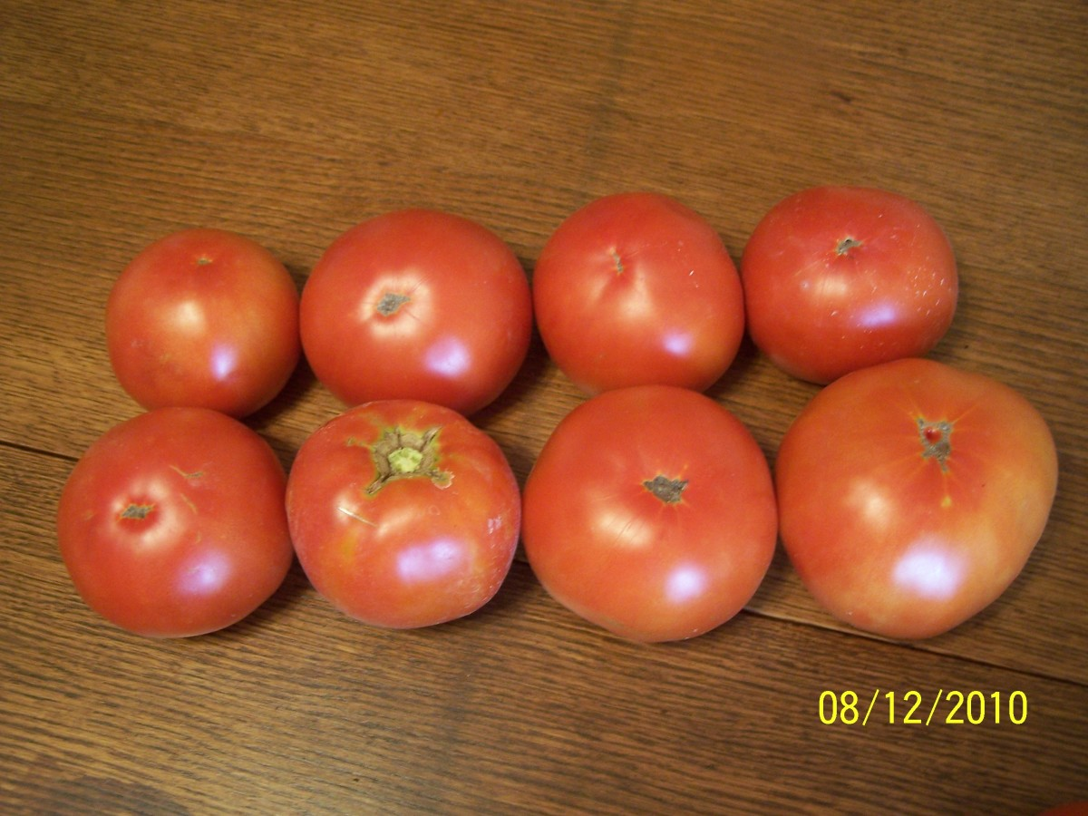 Proof of larger tomatoes from pruning!