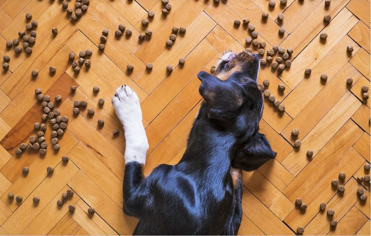 Knowing the pros and cons of free feeding vs scheduled feeding in dogs is important