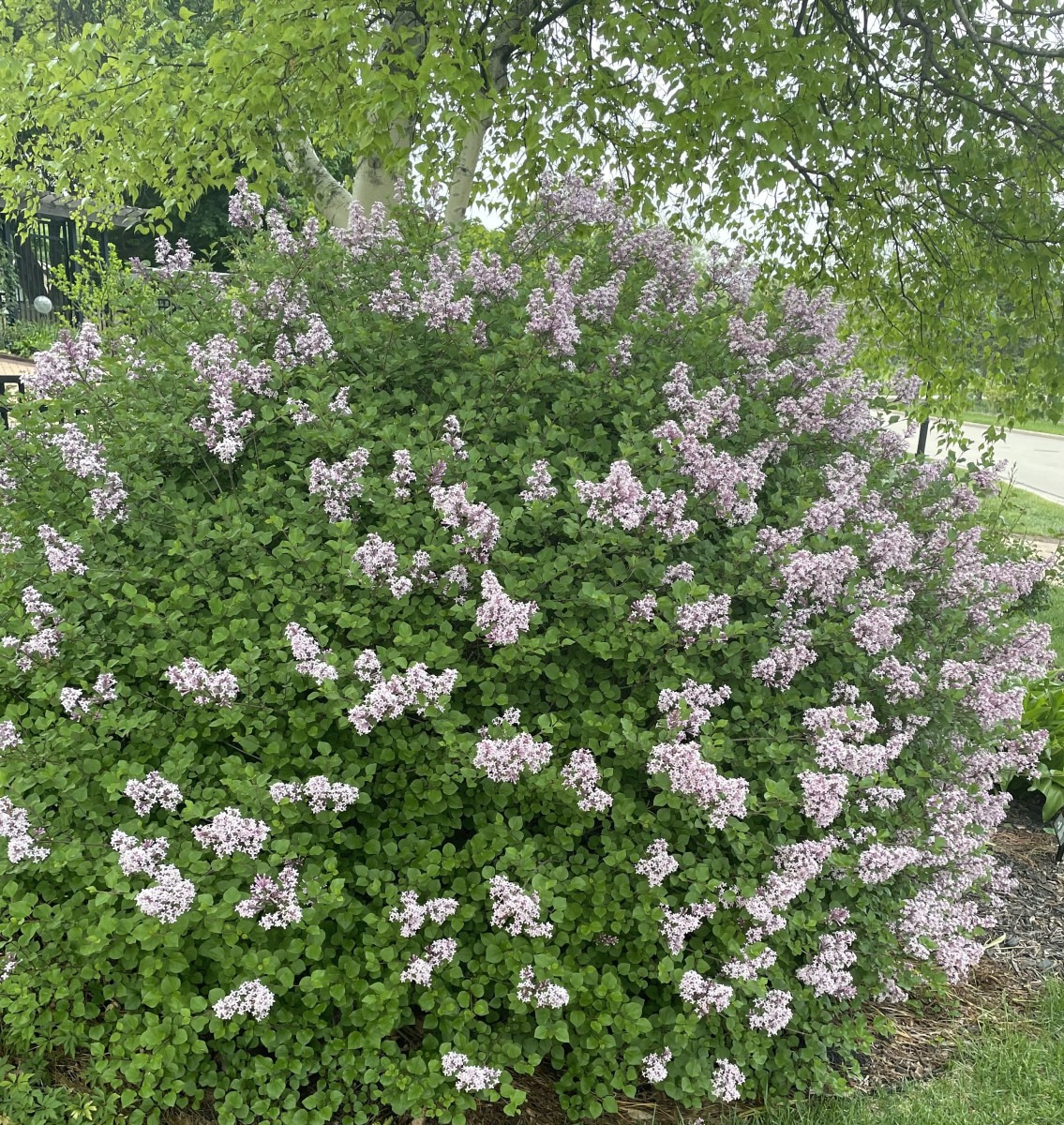 This article will provide you with all the information you need to grow and care for Korean lilac.
