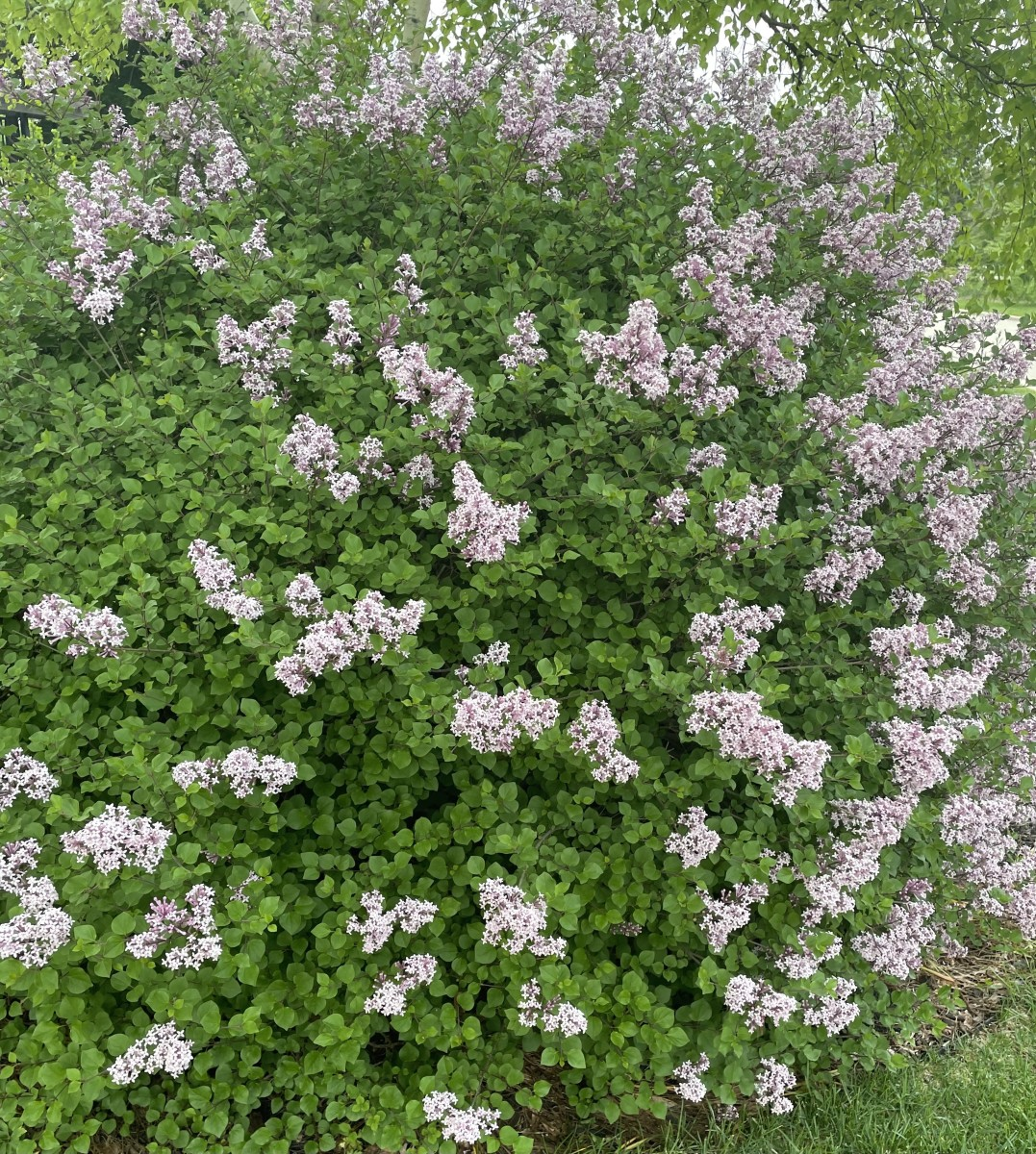 Lilacs were brought to the Americas from Asia and Europe in the 1700s, and they have become a mainstay of many American gardens since.