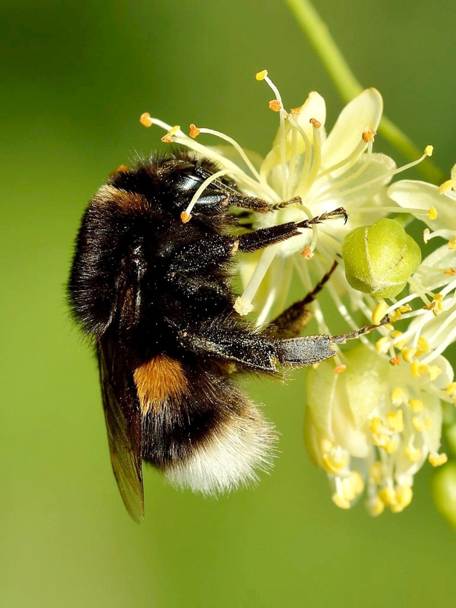 A queen buff-tailed bumblebee on a small-leaved lime flower