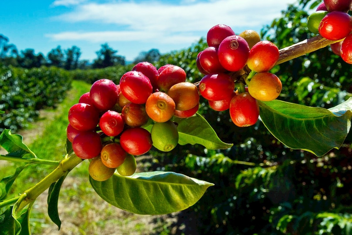Coffee berries ready for harvesting