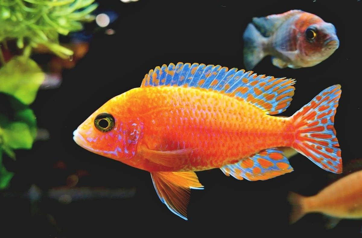 A fairy-wrasse fish.