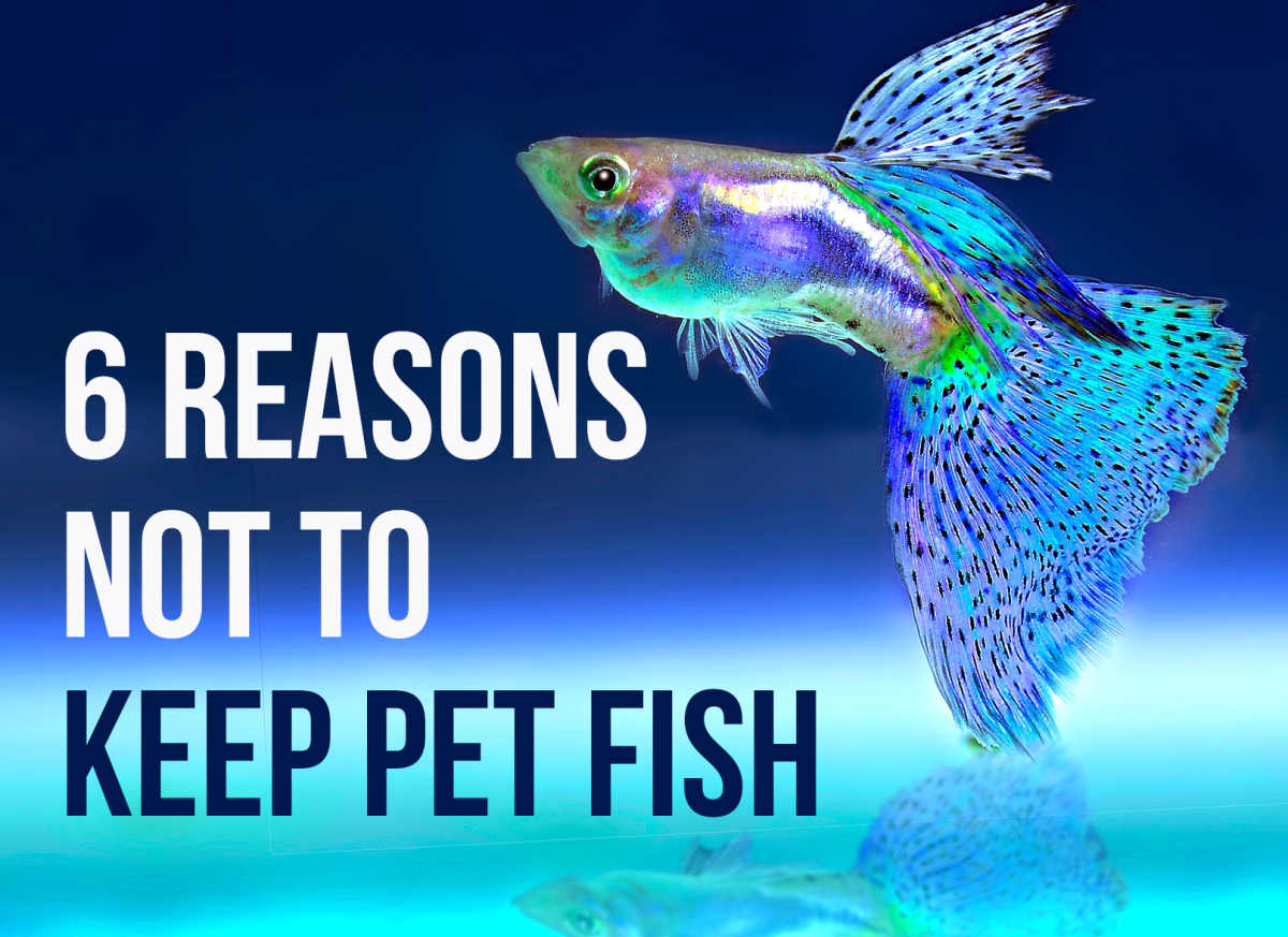 Fish make fascinating and relaxing pets, but there can also be challenges. This article lists and looks at 6 of the negatives.