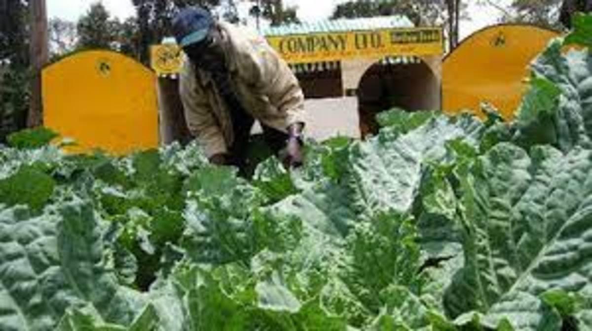 A man tending to sewage grown kales in Nairobi